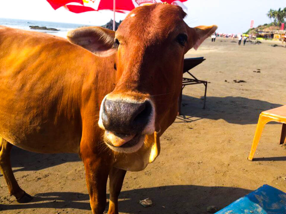 Cows-in-Goa-at-the-beach