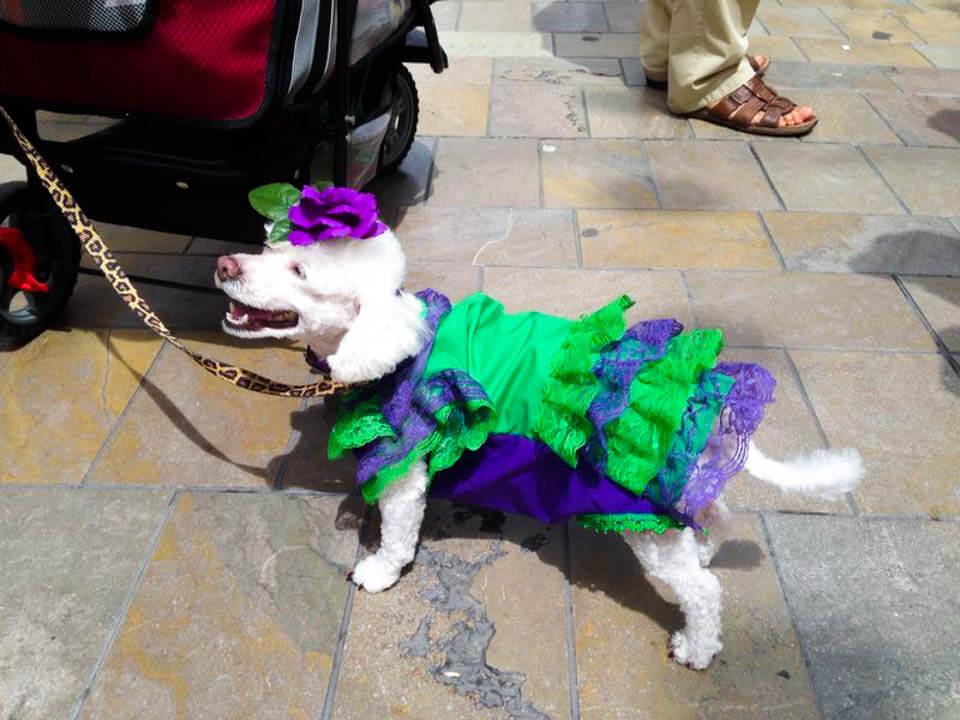 Dog_dressed_up