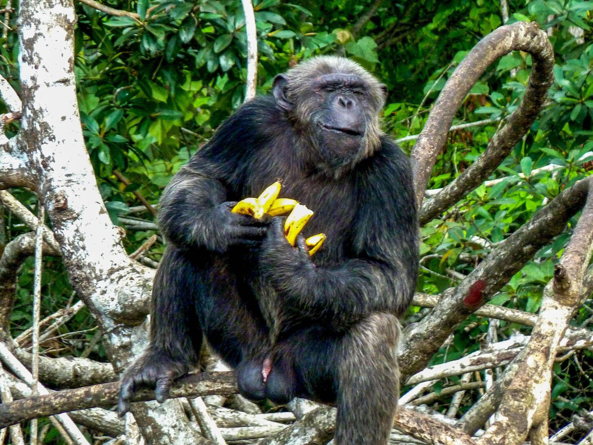 chimpanzees-in-congo