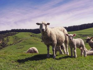 New-Zealand-sheep-on-Castepoint-Station