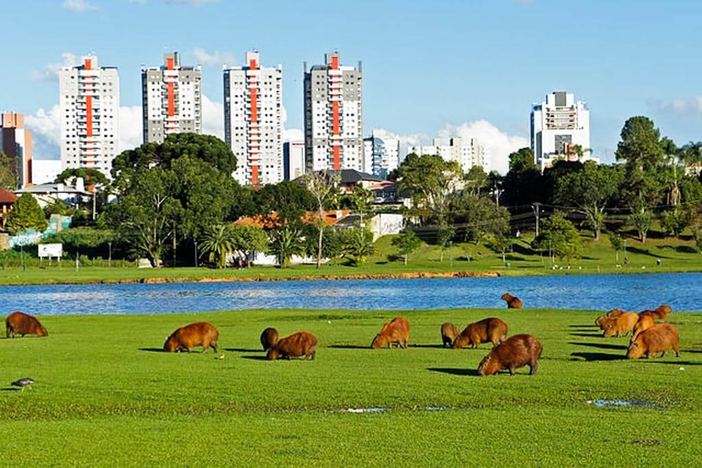 Capivaras-in-Parque-Barigui-in-Curitiba